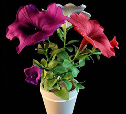 The potted plants - colorful flowers
