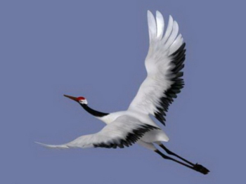 3D model of red-crowned cranes flying