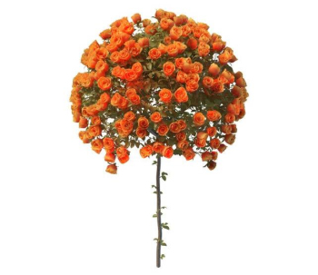Spherical model orange roses