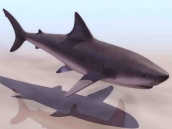 Sharks animals  5