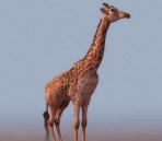 Giraffe  animals  23