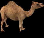Dromedary camel and goods model of a